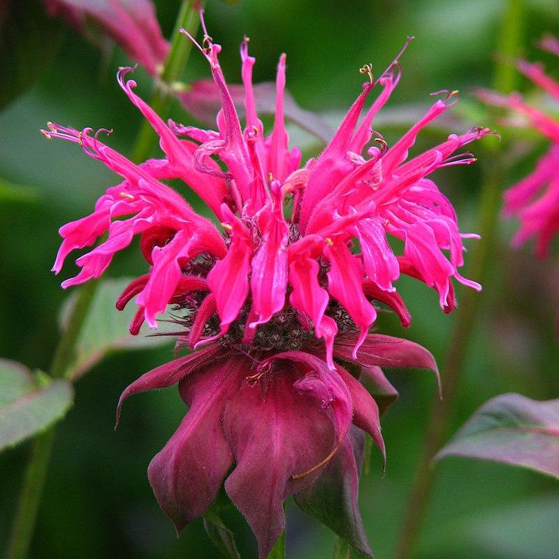 цветы бергамота картинки технология