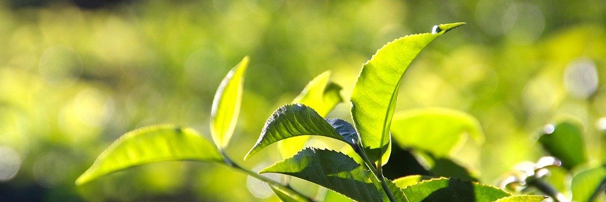 как вырастить чайное дерево