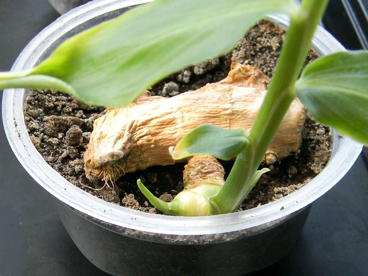 Как вырастить имбирь дома в горшке - 3